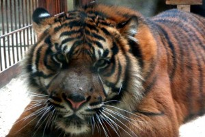 zoo-tiger