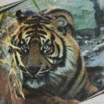 Zoo Osnabrück: Patenschaft für Tiger Argo geht in das 4. Jahr