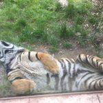 Zoo Osnabrück: Seit 5 Jahren übernimmt die OWS jetzt bereits die Patenschaft für den Tiger Argo!